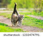 Stock photo a pair of cute beautiful striped loving cats hugging the green meadow raising their tails on a 1232474791