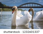 peaceful white swans floating... | Shutterstock . vector #1232601337