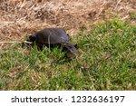 long necked swamp tortoise... | Shutterstock . vector #1232636197