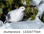 white tailed ptarmigan in... | Shutterstock . vector #1232677564
