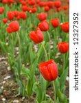 red tulips | Shutterstock . vector #12327352