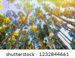 pine trees in forest view from... | Shutterstock . vector #1232844661