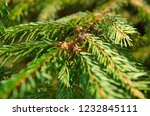 pine tree twigs as a background | Shutterstock . vector #1232845111