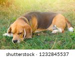 beagle dog outdoors at backyard | Shutterstock . vector #1232845537