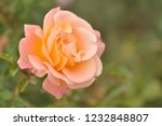 pink rose in the garden in a... | Shutterstock . vector #1232848807