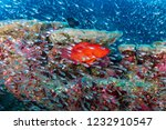 colorful coral grouper on a... | Shutterstock . vector #1232910547