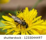 solitaire bee on flower | Shutterstock . vector #1233044497