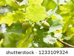 the acorns on a branch of oak ... | Shutterstock . vector #1233109324