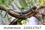 Black Tree Monitor  Beccari's...