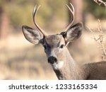 Black Tailed Mule Deer Buck...