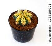 beautiful gymnocalycium... | Shutterstock . vector #1233189121