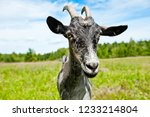 a grey goat in a field  close up | Shutterstock . vector #1233214804