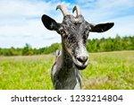 a grey goat in a field  close up | Shutterstock . vector #1233214804