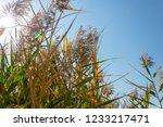 beautiful autumn reeds  scenery ...   Shutterstock . vector #1233217471