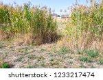beautiful autumn reeds  scenery ...   Shutterstock . vector #1233217474