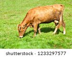 brown cow grazing on the meadow ... | Shutterstock . vector #1233297577