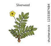 common silverweed or silver... | Shutterstock .eps vector #1233387484