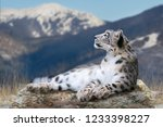 Snow Leopard Lay On A Rock...