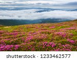 blooming rhododendrons in the... | Shutterstock . vector #1233462577