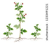 raspberry plant with root...   Shutterstock .eps vector #1233491221
