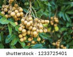longan orchards   tropical... | Shutterstock . vector #1233725401