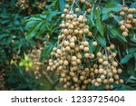 longan orchards   tropical... | Shutterstock . vector #1233725404