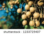 longan orchards   tropical... | Shutterstock . vector #1233725407