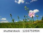 blossom mallow wildflower on... | Shutterstock . vector #1233753904