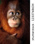 Baby Orangutan Close Up...