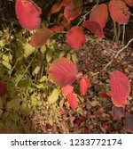 autumn leaves of a witch hazel...   Shutterstock . vector #1233772174