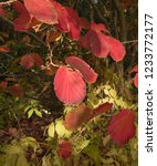 autumn leaves of a witch hazel...   Shutterstock . vector #1233772177