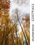 beech forest in autumn   upward ... | Shutterstock . vector #1233791611
