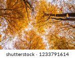 beech forest in autumn   upward ... | Shutterstock . vector #1233791614