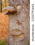 colorful polypore growing on a... | Shutterstock . vector #1233791641