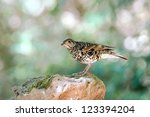 common scaly thrush  zoothera... | Shutterstock . vector #123394204