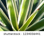 sharp thorn on leaf of agave... | Shutterstock . vector #1234036441