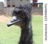 Portrait Of An Emu