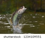 Largemouth Bass Jumping Out Of...