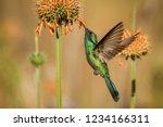 sparkling violet ear  colibri... | Shutterstock . vector #1234166311