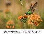 sparkling violet ear  colibri... | Shutterstock . vector #1234166314