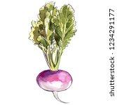 turnip. farm vegetables. sketch ... | Shutterstock . vector #1234291177