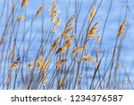 beautiful reed straws at a lake ...   Shutterstock . vector #1234376587