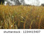 rice paddy fields in thailand.... | Shutterstock . vector #1234415407