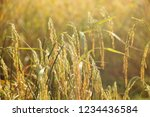 rice paddy fields in thailand.... | Shutterstock . vector #1234436584