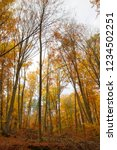 beech forest in autumn   upward ... | Shutterstock . vector #1234502251