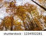 beech forest in autumn   upward ... | Shutterstock . vector #1234502281