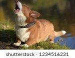 red and white corgi barks | Shutterstock . vector #1234516231