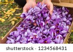 flowers of saffron collection....   Shutterstock . vector #1234568431