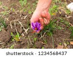 flowers of saffron collection.... | Shutterstock . vector #1234568437