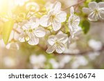 blossoming of cherry flowers in ... | Shutterstock . vector #1234610674